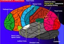 مقال : ماذا تعني لدونة الدماغ؟