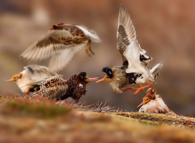 طيور متصارعة