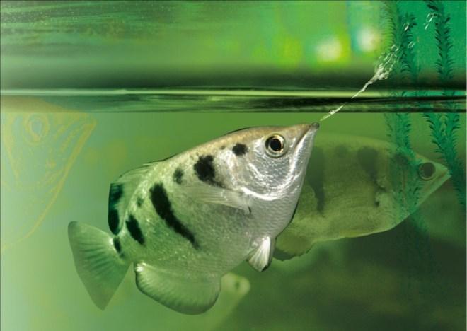 السمك القناص