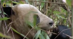 وجهات برية HD : الباندا العمالقة