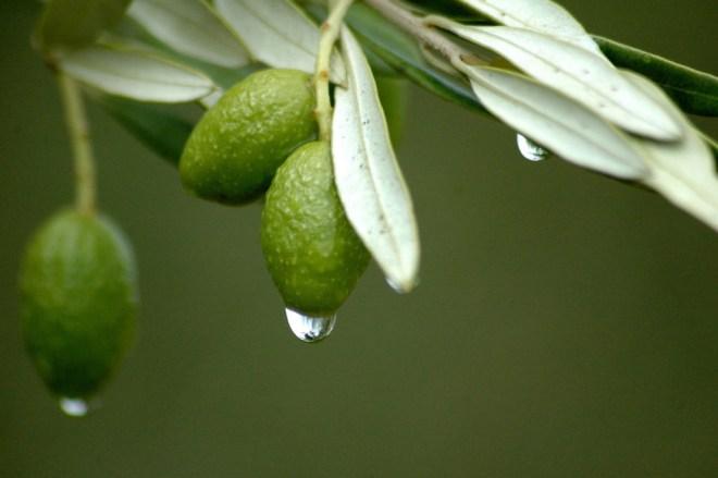 لأوراق الزيتون فوائد صحية أكثر من زيت الزيتون