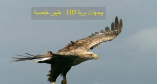 وجهات برية HD : طيور غاضبة