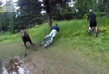 صورة أشرس الكائنات في العالم HD : ثوران حيوان