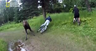 أشرس الكائنات في العالم HD : ثوران حيوان