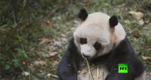 عالم الباندا