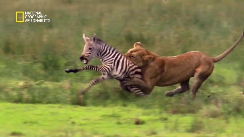 نادي قتال الحيوانات موسم 3 ح3 : الفوضى العارمة