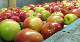 """دارسة - غسيل التفاح بالماء """"لا ينظفه"""".. إليك الطريقة الصحيحة"""