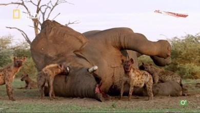 مترجم - حيوانات افريقيا الفتاكة موسم 4 ح1 : سباق التسلّح
