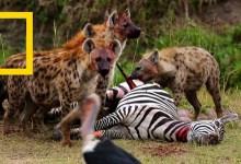 صورة نادي قتال الحيوانات موسم 6 ح3 : كل، اصطد، اقتل