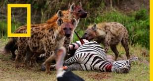 نادي قتال الحيوانات موسم 6 ح3 : كل، اصطد، اقتل