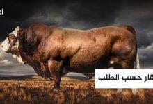 أبقار حسب الطلب