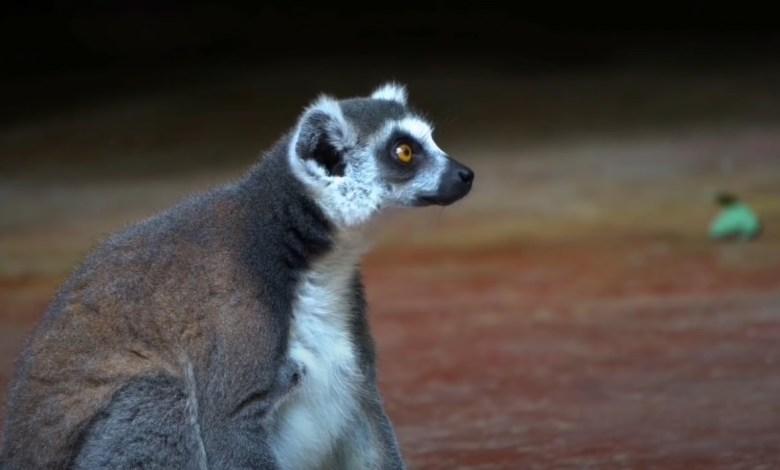 براري جزيرة مدغشقر - الحيوانات الأكثر غرابة على وجه المعمورة