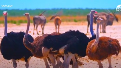 براري افريقيا الحياة القاسية عند طيور النعام