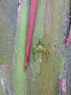 A jumper on a rainbow eucalyptus in San Jose, Costa Rica
