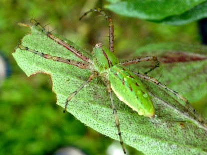 Another beautiful, Costa Rican lynx spider :)