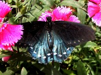 Pipevine Swallowtail Photograph 1