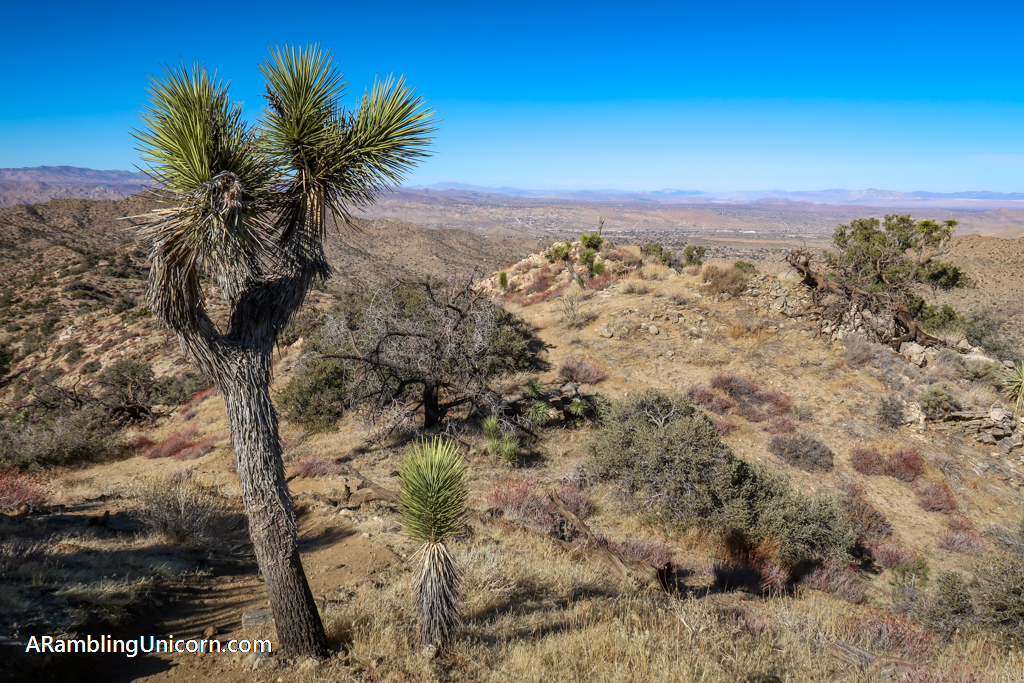 View from the top of the Panorama View Trail with a Joshua Tree in the foreground