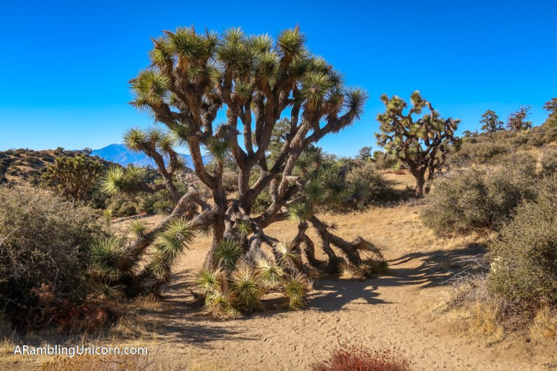 Some big Joshua Trees line the Panorama Loop Trail