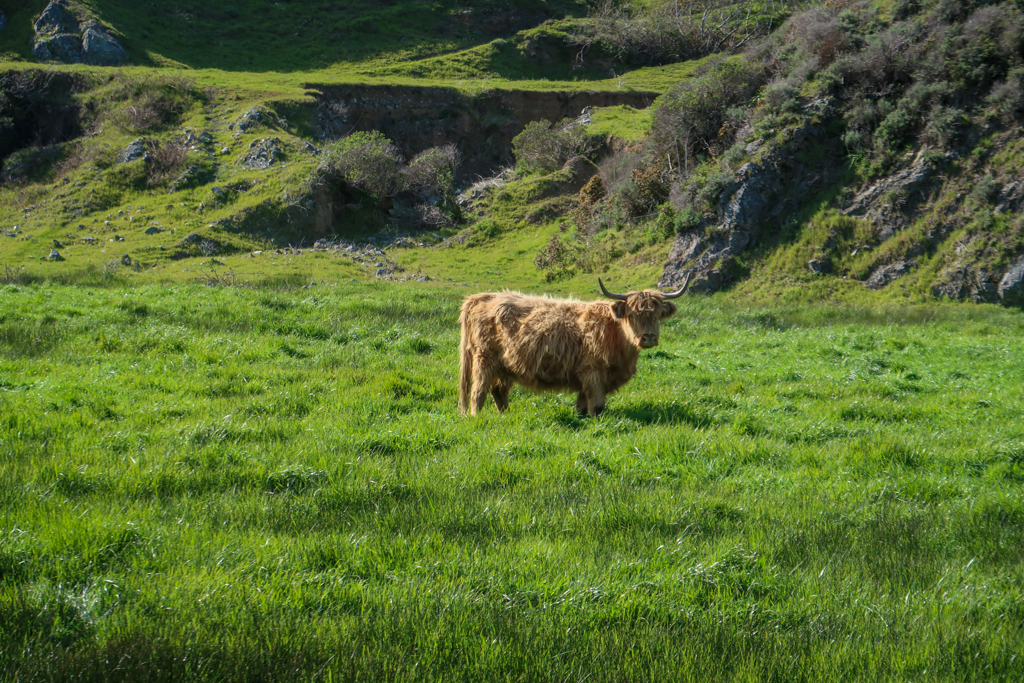 A cow with brown shaggy fur and big horns stands in a green pasture