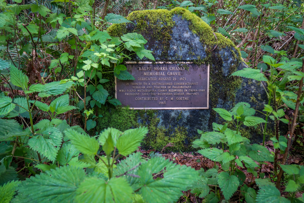 Plaque reads: Ralph Works Chaney Memorial Grove. Dedicated August 21, 1971. In tribute to a distinguised conservationist, scholar and teacher of paleobotany who found Metasequoia (Dawn Redwood) in China in 1948. President Save-the-Redwoods League 1961-1971. Contributed by C. M. Goethe, 1965.