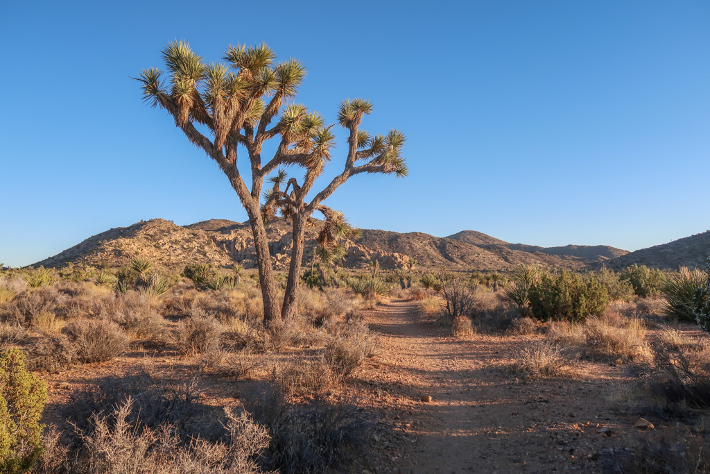 Hiking path flanked by a tall Joshua Tree just before sunset.