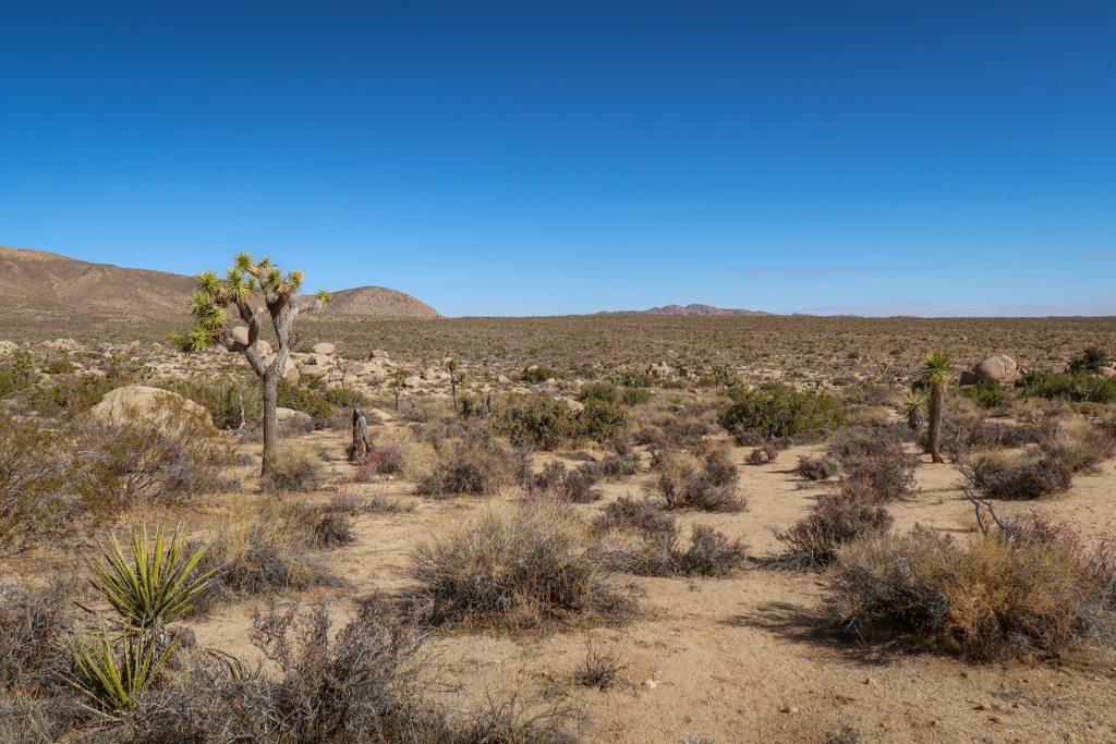 A plain stretching into the horizon as far as the eye can see that is filled with Joshua Trees