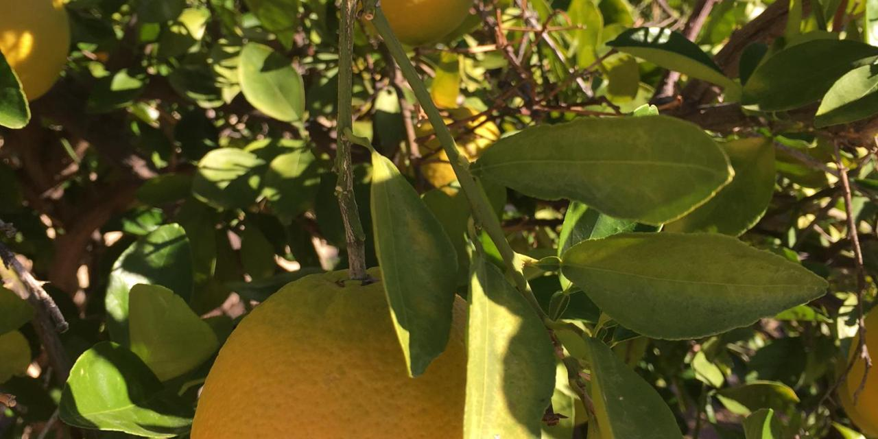 Oranges ripening in the sun