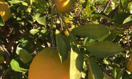 Oranges ripening in the sun