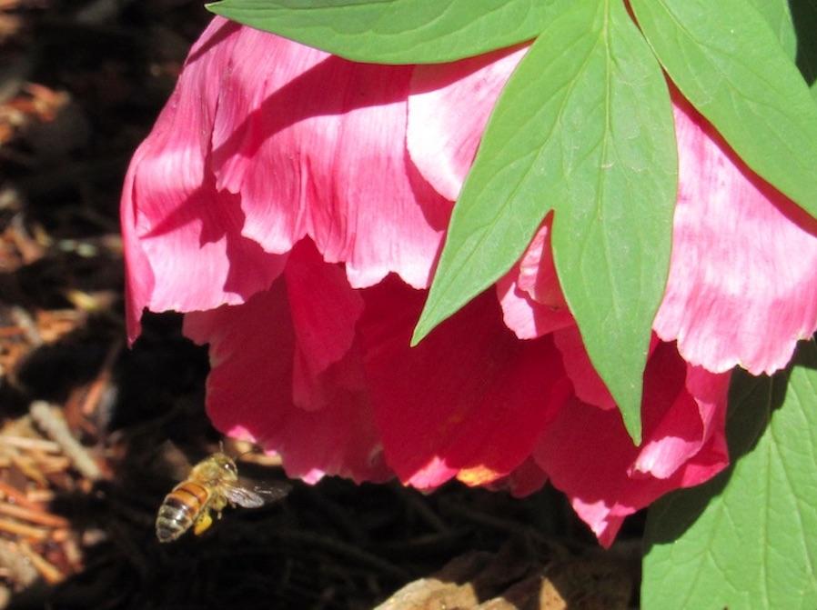 Bee+meets+flower+-+Denver+Botanic+Gardens.+April.+30%2C+Denver%2C+CO.+Rashid+Mohamed