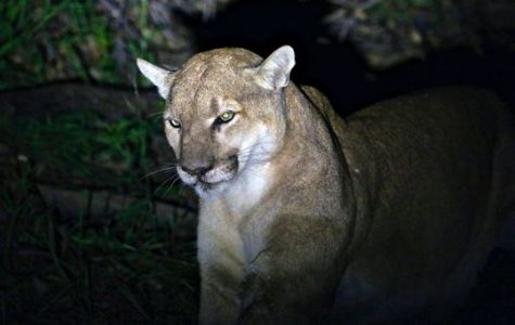 What's Up With That Mountain Lion Attack?