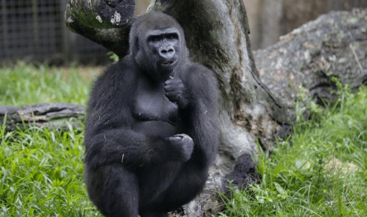 gorila-extincao