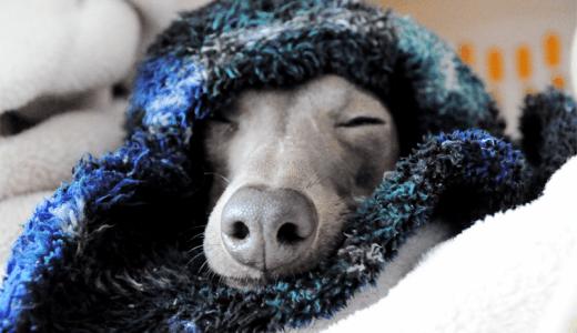 イタグレBuono!君、大好きな寝袋から、こんにちは。おやすみなさい。