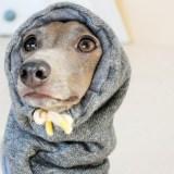 犬耳から血が飛び散る!血管炎・寒冷凝集素症・耳介辺縁血管炎とは?