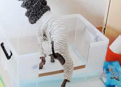 イタグレのトレイ大公開:犬のトイレの躾で大切な事はたった2つ!