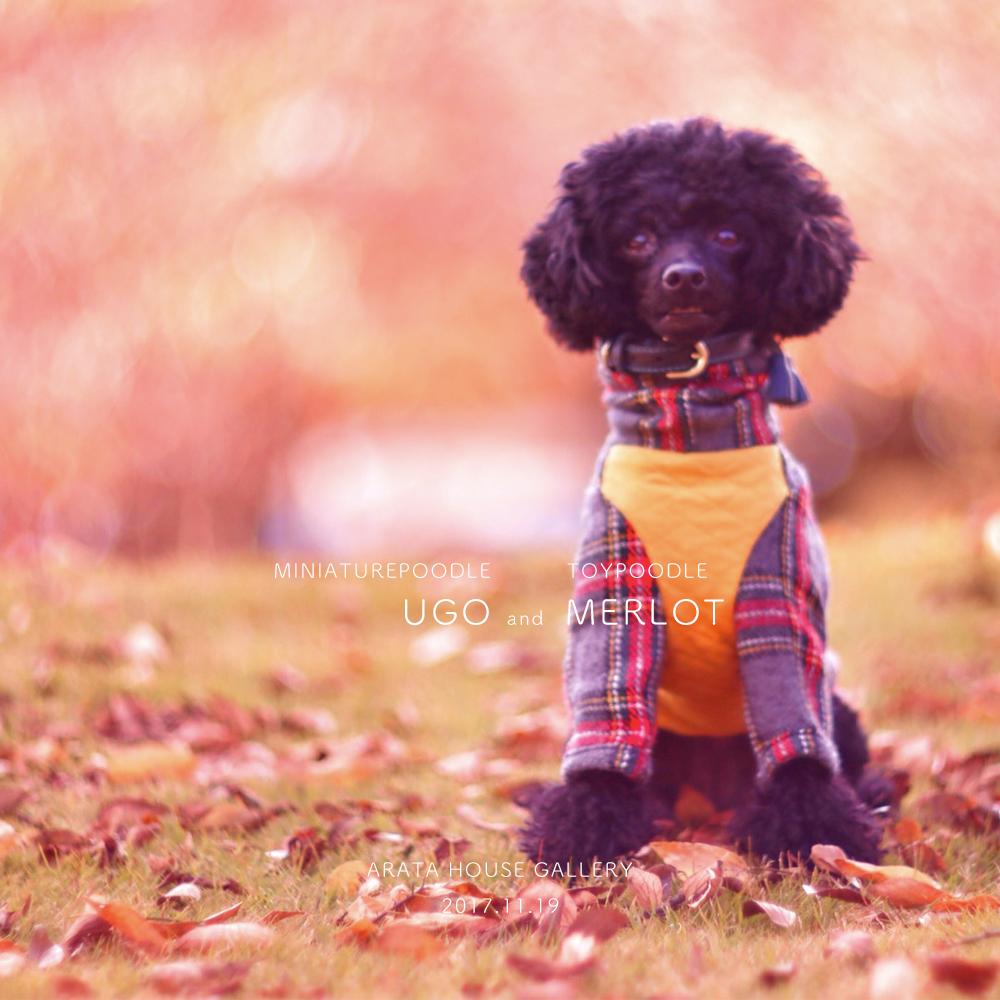 秋を感じ、秋を楽しむ。「トイプードル メルロ&ミニチュアプードル ウーゴ」