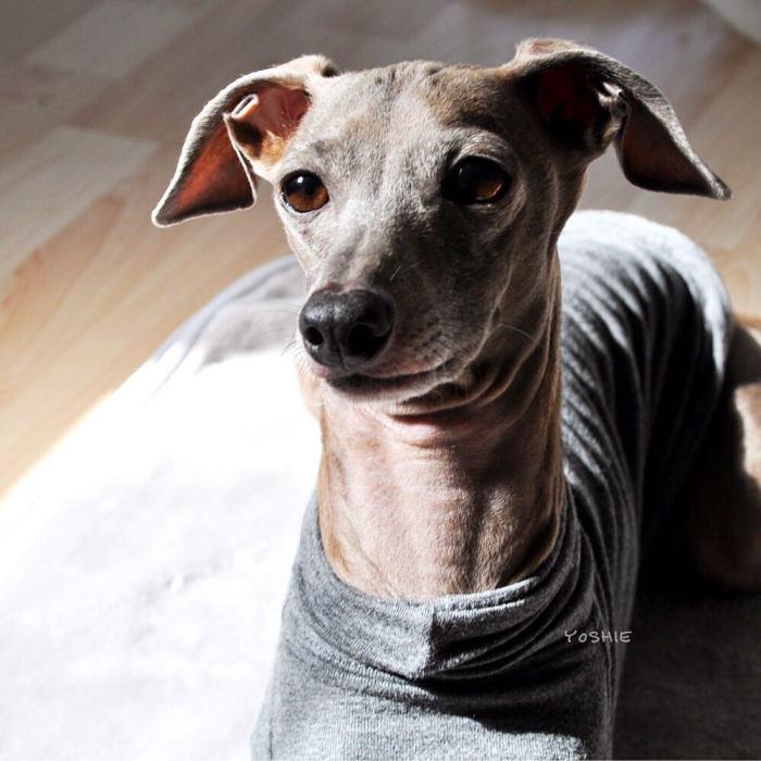 ひなたぼっこ|イタグレBuono!ことItalian Greyhound Buono!だよ
