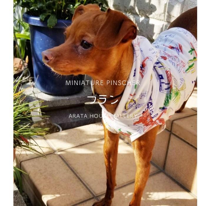 ミニピンの犬服作り:かわいいブランが楽しむ姿と飼い主さんの笑顔