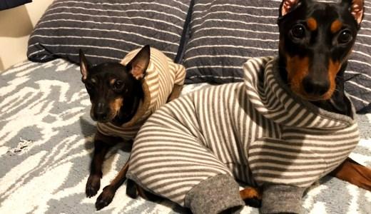 寛いでいる姿が可愛いトイマンとジャーマンピンシャーの犬服作り