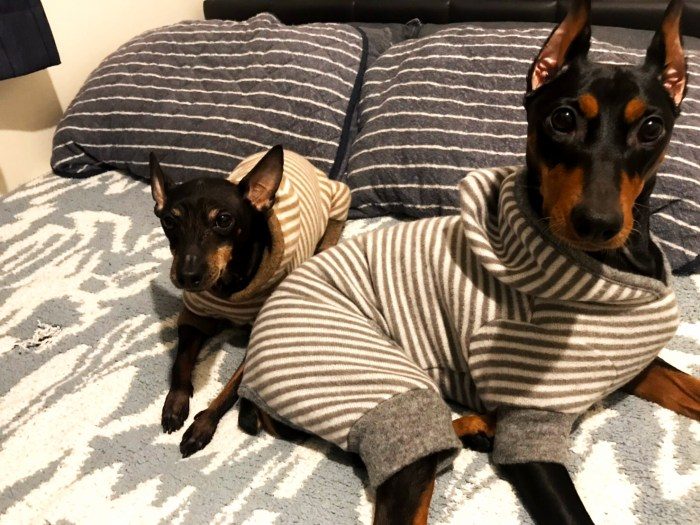 寛いでいる姿が可愛いトイ・マンチェスター・テリアとジャーマン・ピンシャーのお洋服をお作りしました