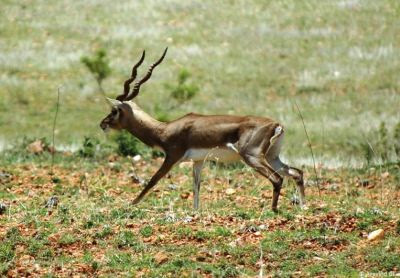 Maidenahalli Blackbuck sanctuary