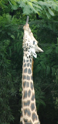 "When leaves are ""too high"" for Giraffe!!"