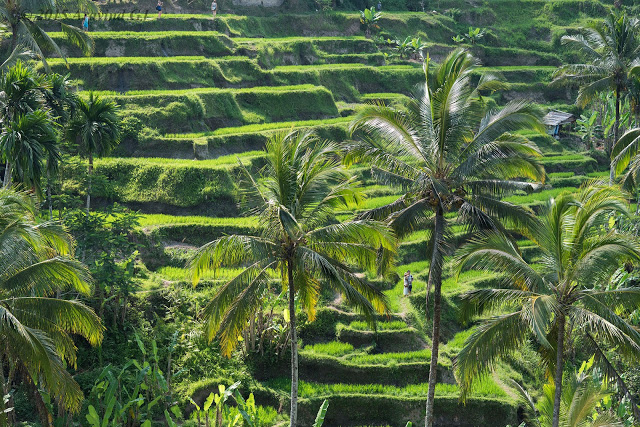 Rice terrace of Tegalalang, Bali