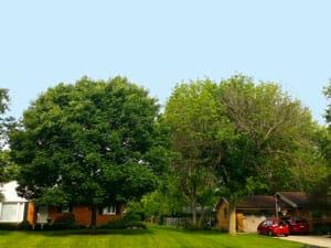 ash tree 2015 - treated vs untreated