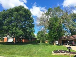 ash tree 2017 - treated vs untreated