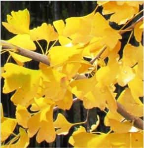 fall foliage ginkgo