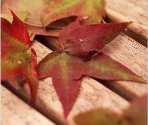 fall foliage sweetgum