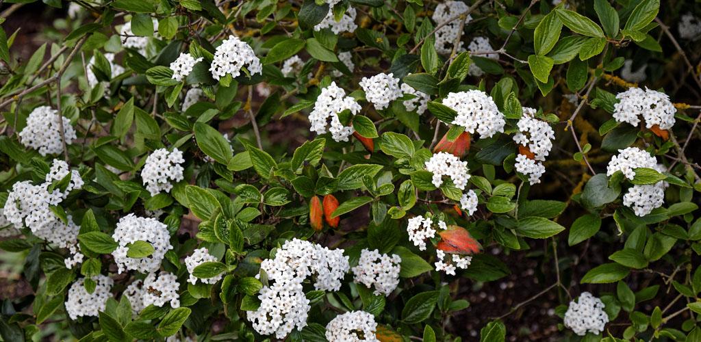 burkwood viburnum shrub flowering