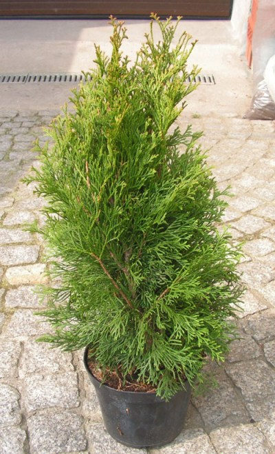 thuja occidentails smaragd arborvitae in a small pot