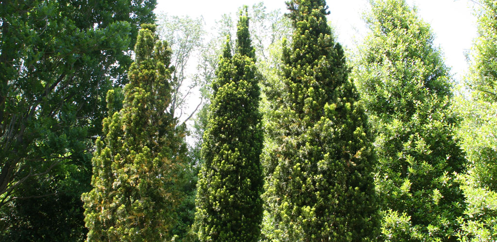 taxus media (viridis yew) planted to create a privacy screen