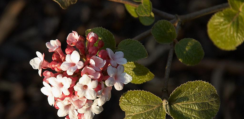 vibernum carlesii flowers in full bloom